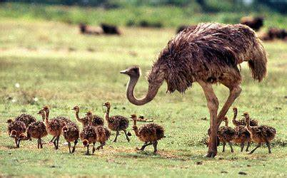 This image has an empty alt attribute; its file name is ostriches-with-babies.jpg